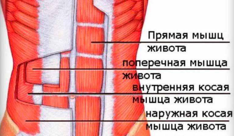 Мышцы-живота